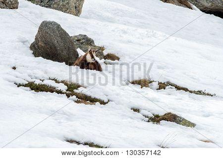 Chamois Deer On Snow Portrait