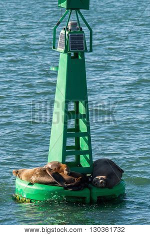 Sea Lion Seal Relaxing On A Buoy
