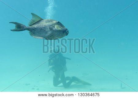 Trigger fish underwater close up portrait on reef
