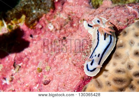 A White And Pink Nudibranch In Raja Ampat Papua, Indonesia