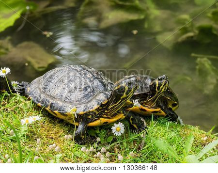 Turtles in the botanical garden in Lucca Italy