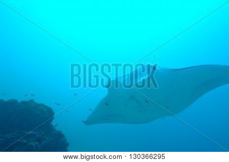 Manta Underwater Close Up Portrait While Diving