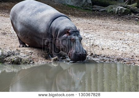 Hyppopotamus Hippo Close Up Portrait