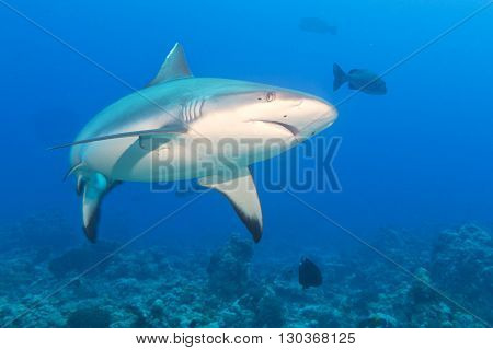 Grey White Shark Jaws Ready To Attack Underwater Close Up Portrait