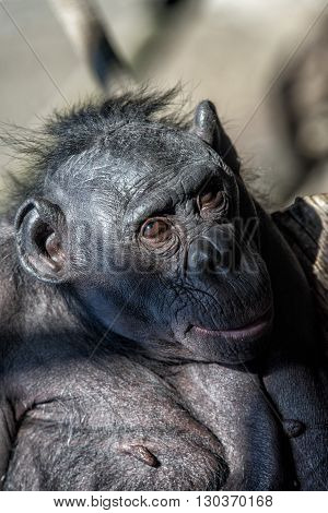 Bonobo Portrait Female Ape Close Up