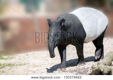 malayan tapir portrait looking at you close up