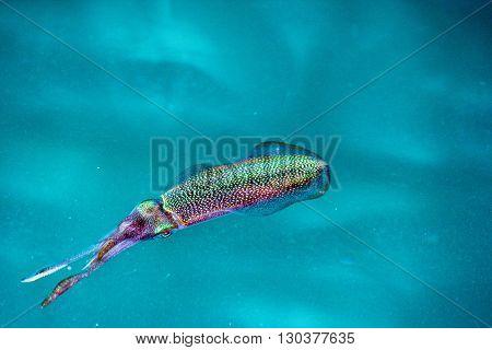 Squid Cuttlefish Underwater At Night