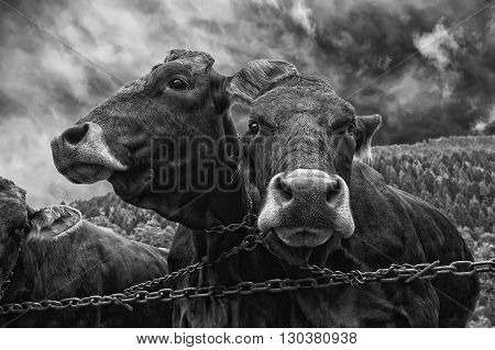 Two Cows Portrait In Black And White Close Up