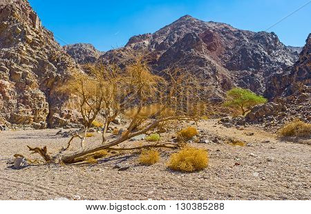 The fallen camel thorn tree on the path in valley in Eilat mountains Israel.