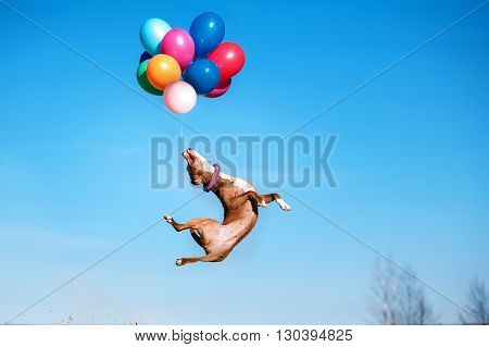 American staffordshire terrier dog jumps in the air to catch flying balloons dog playing with balloon