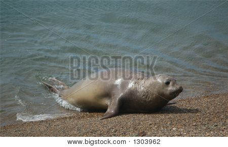 lonely sea elephant crawling out of the ocean onto firm land poster