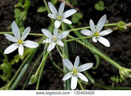 Beautiful White flowers and buds of Ornithogalum umbellatum (Star-of-Bethlehem)