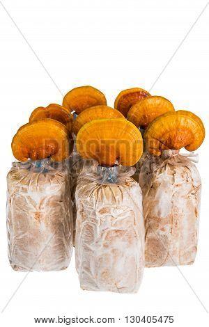 Lingzhi mushroom Ganoderma lucidum in nursery bag isolated on white background Chinese traditional medicine (nutritive value).