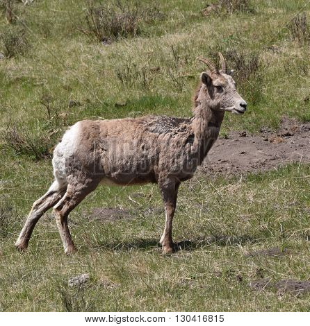 a female big horn sheep stands looking forward