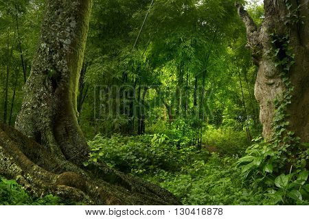 Tropical jungle in Thailand with trees and roots