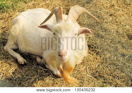 Goat in the farm house, a beautiful billygoat