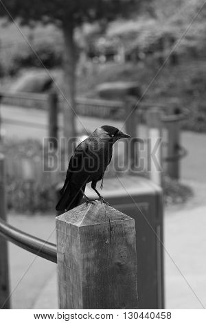 Lone Jackdaw perched on a post looking for food