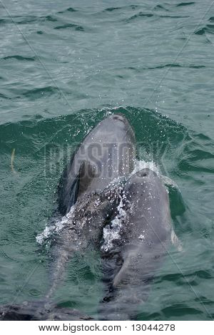 Chinese White Dolphins (sousa Chinensis)