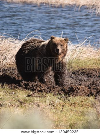 a grizzly stares toward the camera from near blacktail ponds, yellowstone national park