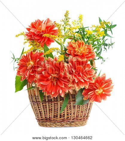 autumn flowers of georgina in basket. isolated on white