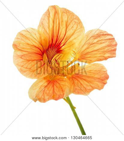 single flower of yellow nasturtium isolated on white background