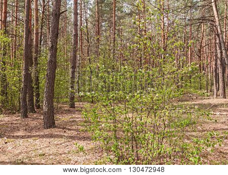 Blossoming branches of a tree in the spring shadberry pine forest in Polesie in Ukraine