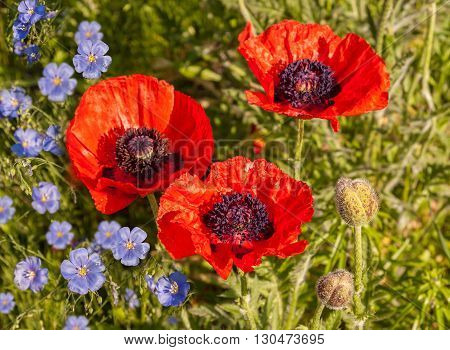 A flower bed with blooming decorative Papaver orientale (Oriental poppy) and decorative blue Linum perenne (perennial flax blue flax or lint)