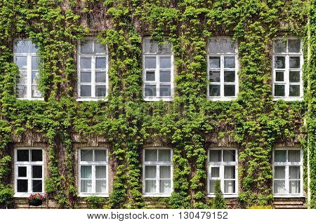 The facade of a historic building of the University in Grodno covered with green ivy in spring. Belarus.