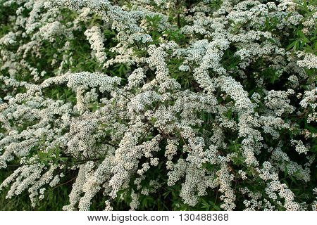 Shrub with small white flowers blooming in spring
