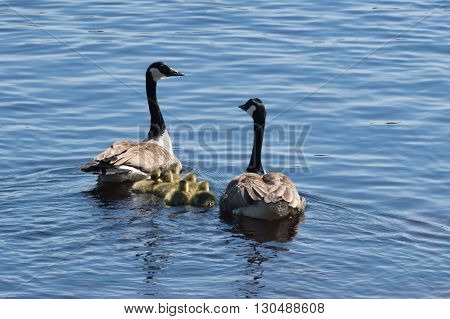 Couple of canadian geese with herd of baby geese swimming in lake