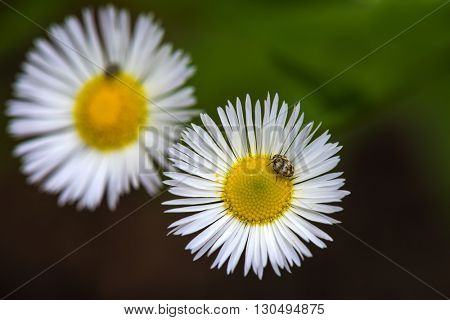 a beetle sitting on a white daisy flower