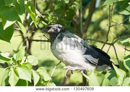 Young hooded crow. The Hooded Crow, Corvus cornix is a Eurasian bird species in the crow genus