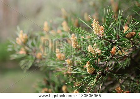 Pine Tree With Green Pine Branches. Pine Tree Needle Leaves. Closeup.