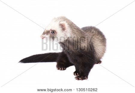 Playful ferret isolated on a white background