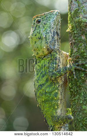 Green Lizard , Close up with a beautiful lizard , Close up view of a cute green Lizard on the wild