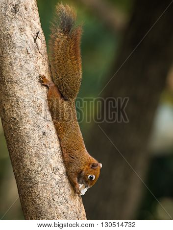 close up squirrel or small gong Small mammals native to the tropical forests at Thailand Variable squirrel Pallas's squirrel poster