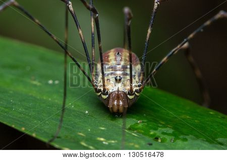 Spider of Borneo , Huntsman Spider , Jumping Spider
