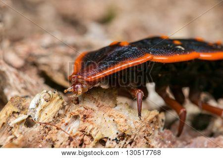 Trilobite Beetle , Close-Up of Trilobite Beetle , Duliticola, a rare insect of Borneo , Bugs ,