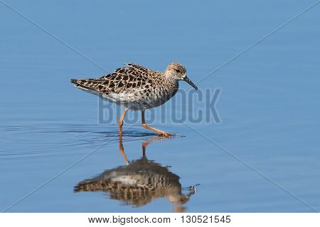 Ruff (Philomachus pugnax) looking for food in its habitat with blue water in the background