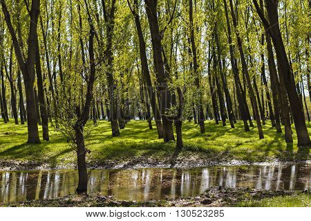Landscape with a forest of hornbeam trees in marshes with reflection on water