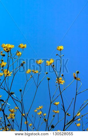 Yellow buttercups on a blue sky summer background