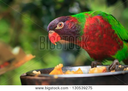 Closeup of A single parrot (Trichoglossus haematodus, lorius chlorocercus) perched on a platform with a food plate with food item in his beak poster