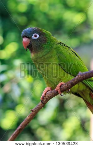 The blue-crowned parakeet, blue-crowned conure, or sharp-tailed conure (Thectocercus acuticaudatus) in natural surroundings