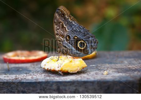 Single Postman Butterfly or Common Postman (Heliconius melpomene) feeding on fruits