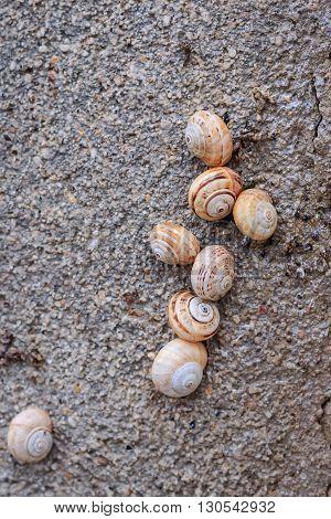 Snail colony (Cornu aspersum) on the wall closeup