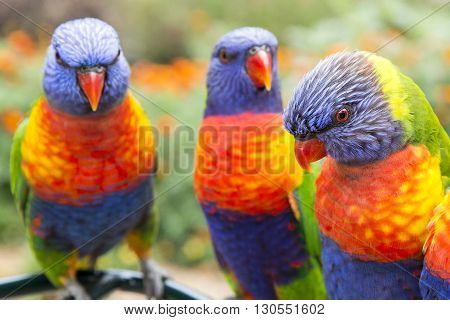 Three colourful Australian blue, green and red rainbow Lorikeet closeup