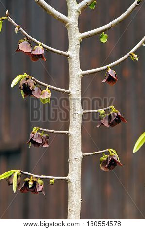 The pawpaw (Asimina triloba) is an understory tree, native to North America with red-purple flowers.