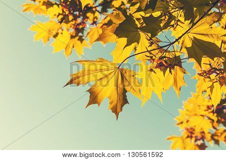 Bright Yellow Red Autumn Maple Leaves, Retro