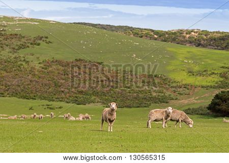 A flock of sheep grazing on the open green meadows during Autumn in Australia