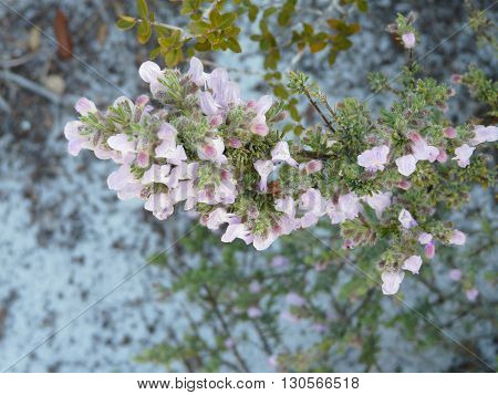 Wild rosemary flowers are attractive to bees and other pollinators. This one is at Camp Helen State Park Florida in a sand dunes beach area.
